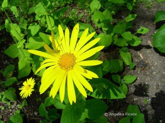 Doronicum pardalianches - Gemswurz,  © Mag. Angelika Ficenc
