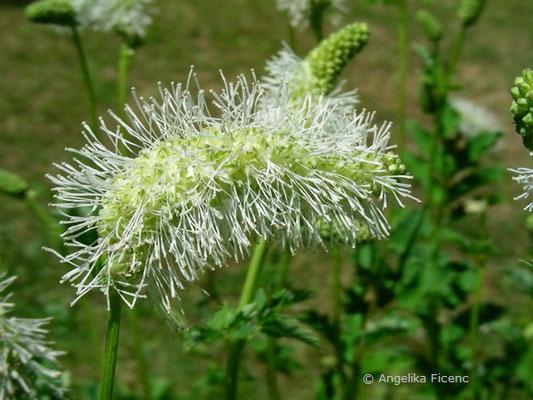 Sanguisorba albiflora - Wiesenknopf