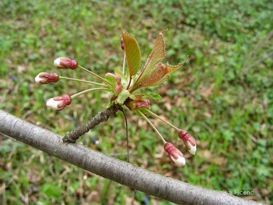 Prunus avium - Vogelkirsche  © Mag. Angelika Ficenc
