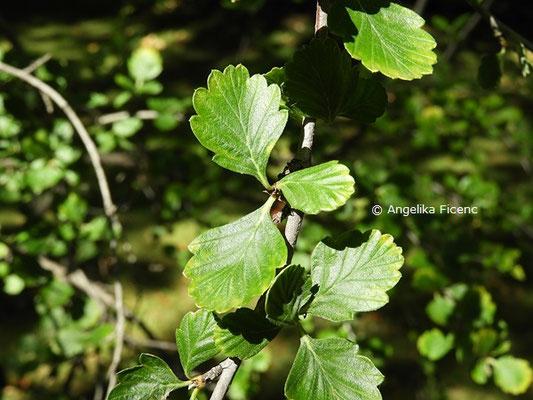 Cercocarpus montanus  © Mag. Angelika Ficenc