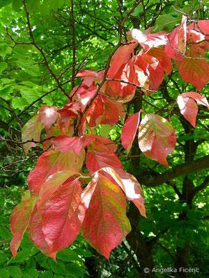 Cornus florida, Laubblätter in Herbstfärbung