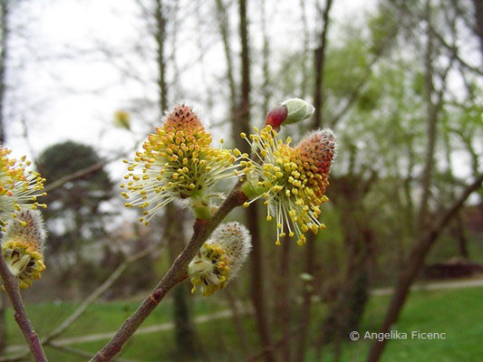 Salix sp. - Weide  © Mag. Angelika Ficenc