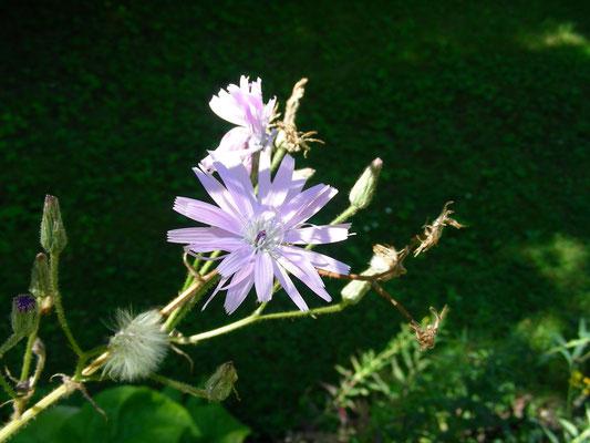Cicerbita macrophyllum - Großblättriger Milchlattich, Blütenstand