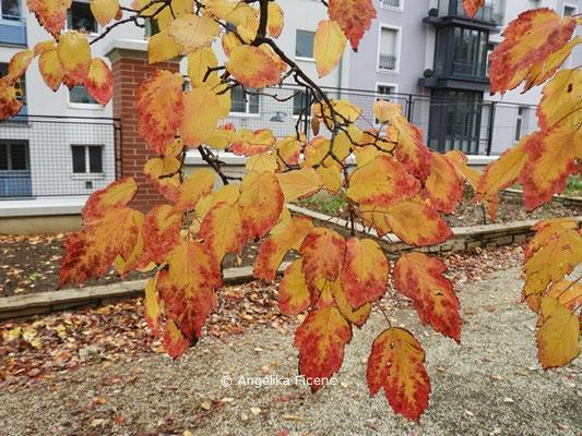 Acer tataricum subsp. ginnala  © Mag. Angelika Ficenc