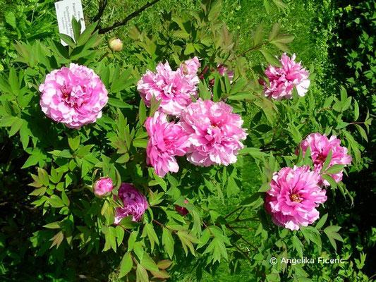 """Paeonia x suffruticosa """"Duchesse de Morny"""" - Strauch-Pfingstrose"""