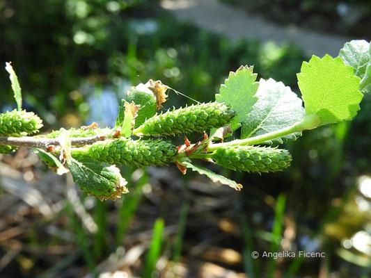 Betula pumila, Kleinbirke   © Mag. Angelika Ficenc