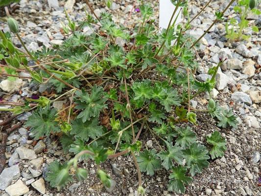 Geranium subcaulescens var., Laubblätter