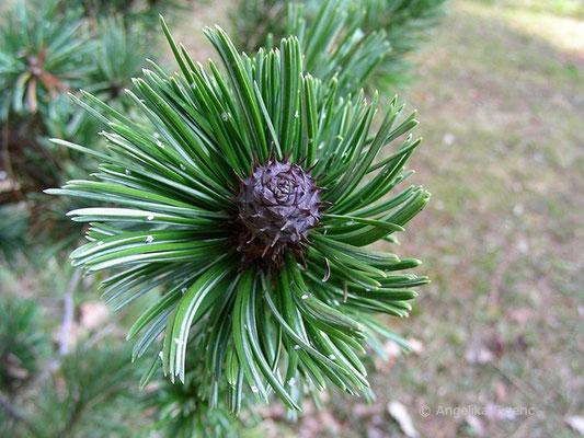 Pinus aristata - Grannen Kiefer  © Mag. Angelika Ficenc