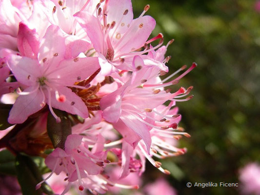 Rhododendron racemosum  © Mag. Angelika Ficenc
