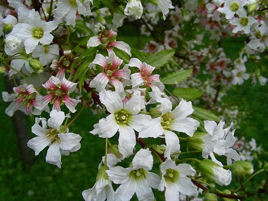 Xanthoceras sorbifolium - Gelbhorn  © Mag. Angelika Ficenc