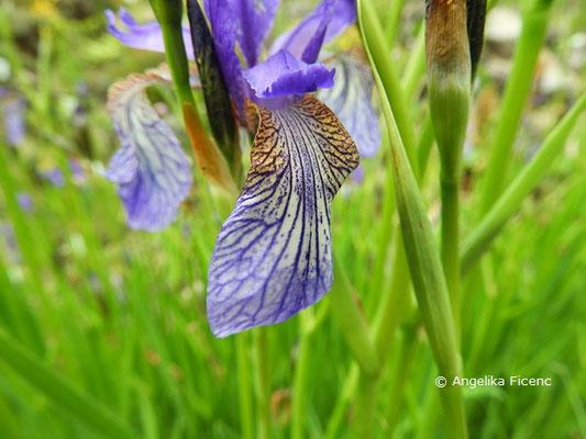 Iris sibirica - Sibirische Schwertlilie, Lippe