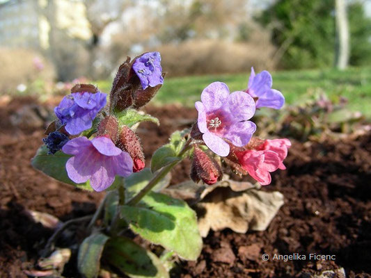 Pulmonaria officinalis - Flecken Lungenkraut