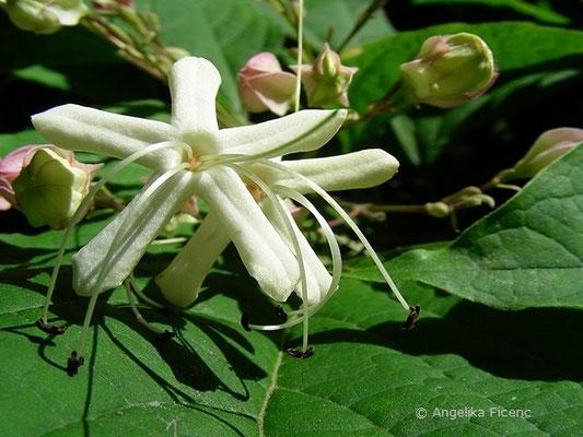 Clerodendrum trichotumum - Japanischer Losstrauch, Blüte
