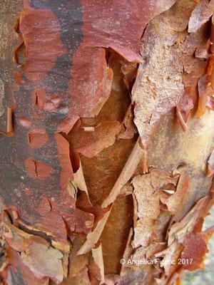 Acer griseum - Zimtahorn, Rinde