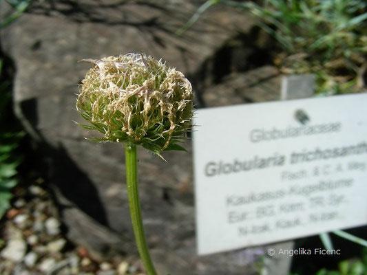 Globularia trichosantha - Kaukasus Kugelblume, abgeblüht