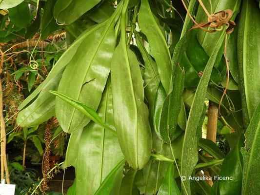 Nepenthes rafflesiana, Kannenstrauch, Blätter    © Mag. Angelika Ficenc