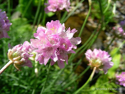 Armeria junipifolia - Wacholder Grasnelke, Blütenstand