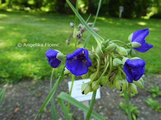 Tradescanthia ohiensis  © Mag. Angelika Ficenc