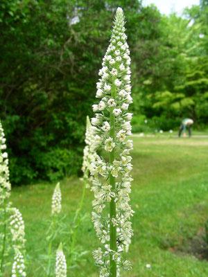 Reseda alba - Weiße Resede, Blütenstand