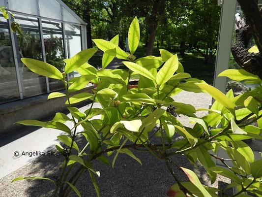 Acokanthera oblongifolia - Wachsbaum, Laubblätter