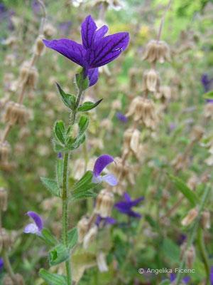 Lamium viridis - Schopfsalbei