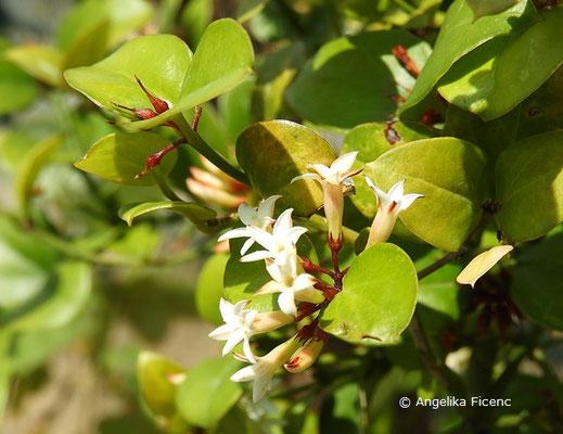 Carissa bispinosa - Dorniger Wachsbaum, Blütenstand  © Mag. Angelika Ficenc