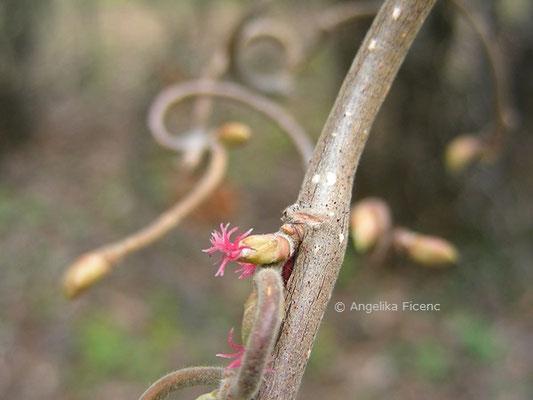 Corylus avellana forma Contorta - Korkenzieherhasel, weibliche Blüten