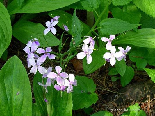 Lunaria redivia - Ausdauerndes Silberblatt, Blütenstand
