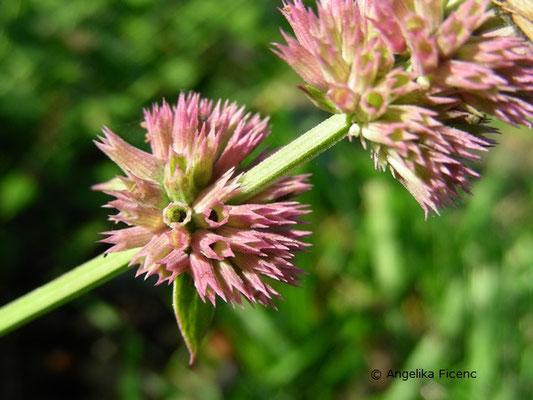 Agastache breviflora - Duftnessel