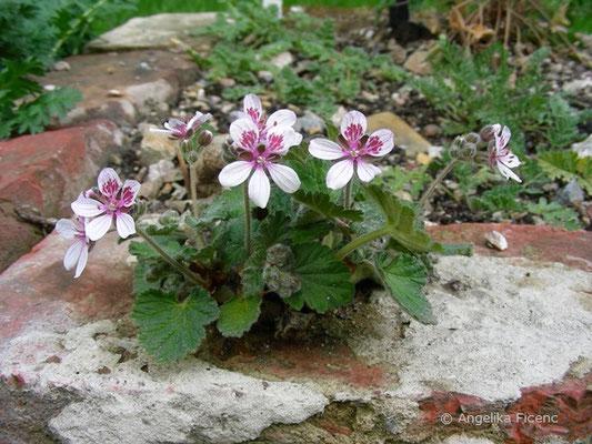 Erodium trifolium - Reiherschnabel