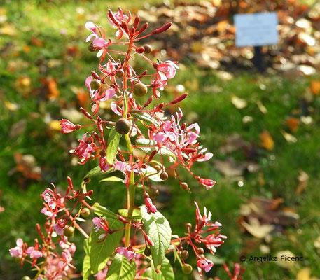 Lopezia racemosa - Mexikanische Lopezie, Früchte