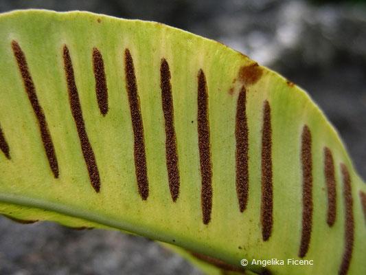 Asplenium scolopendrium - Hirschzunge, Blatt mit Sporangien  © Mag. Angelika Ficenc