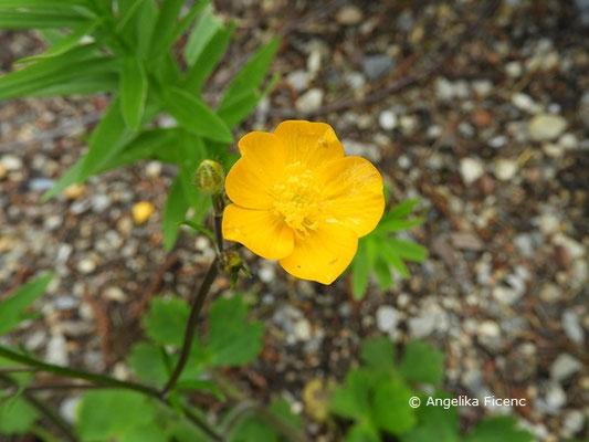 Ranunculus lanuginosus - Woll-Hahnenfuß, Blüte  © Mag. Angelika Ficenc