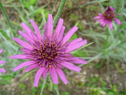 Tragopodon porrifolius - Purpur Bocksbart, Blüte