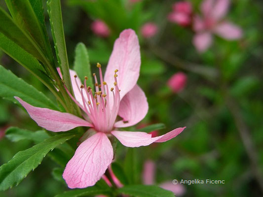 Prunus tenella - Zwergmandel  © Mag. Angelika Ficenc