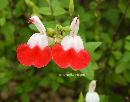 "Salvia microphylla ""Hot Lips"" © Mag. Angelika Ficenc"