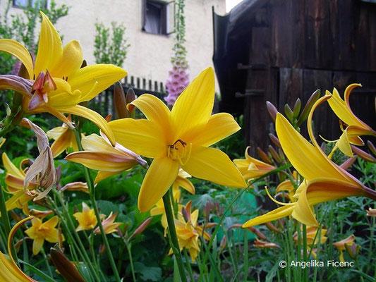 Taglilie, Blüten