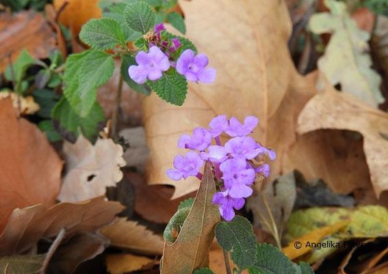 Lantana montevidensis - Kriechendes Wandelröschen, Blütenstand