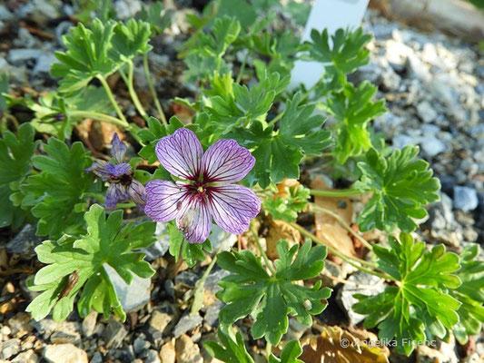 Geranaium subcaulescens var. - Storchschnabel, Einzelblüten