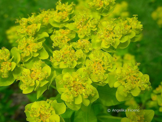 Euphorbia palustris - Sumpf-Wolfsmilch  © Mag. Angelika Ficenc