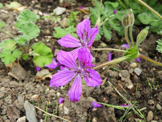 Erodium manescavi - Pyrenäen-Reiherschnabel, Blüten