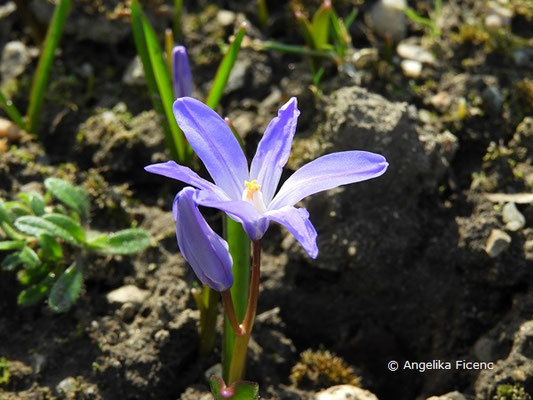 Chionodoxa luciliae - Schneeglanz    © Mag. Angelika Ficenc