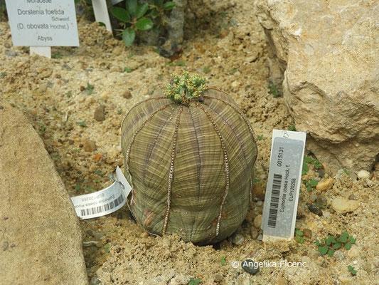 Euphorbia obesa  © Mag. Angelika Ficenc