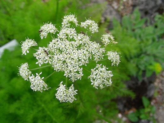 Meum athamanticum - Bärwurz, Blütendolde