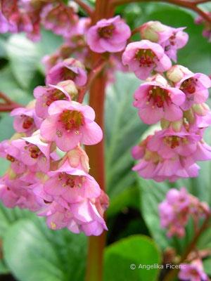 Bergenia cordifolia - Herzblättrige Bergenie