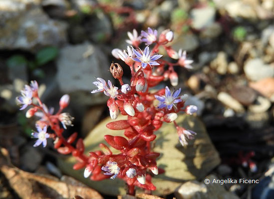 Sedum Caeruleum, Blüten    © Mag. Angelika Ficenc