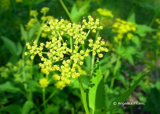 Zizia aurea - Goldener Alexander