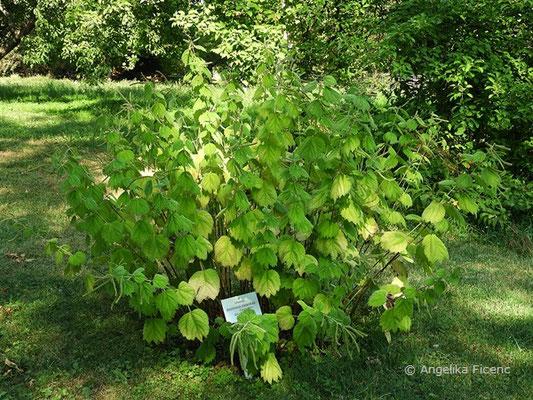 Boehmeria platanifolia - Böhmeria    © Mag. Angelika Ficenc