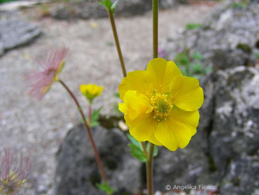 Geum montanum - Berg Nelkenwurz, Blüte  © Mag. Angelika Ficenc