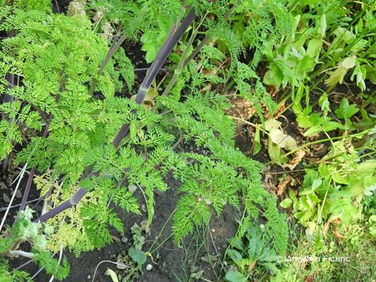 Selinum wallichianum - Kaschmirdolde, Blätter